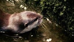 Closeup shot of a swimming Otter.