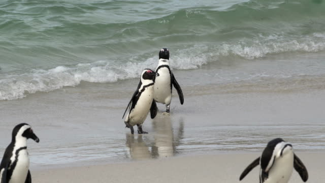 close-up shot of adorable penguins waddling out of the waves, camera moving from left to right following the penguins - cape town, south africa - waddling stock videos & royalty-free footage