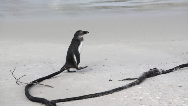 close-up shot of an adorable penguin waddling on the sand next to the waves, camera moving from left to right, following the penguin - cape town, south africa - waddling stock videos & royalty-free footage