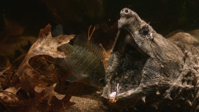 close-up shot of an alligator snapping turtle catching a young white crappie in the mississippi river - swamp stock videos & royalty-free footage