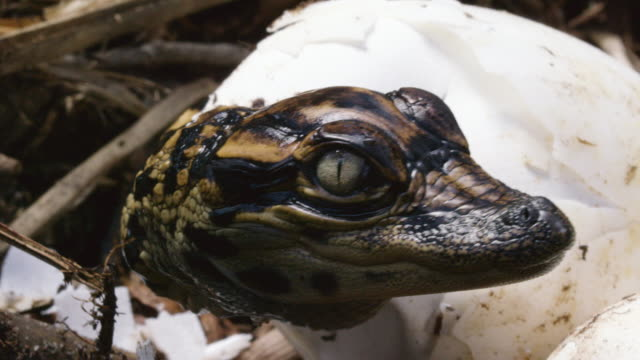 close-up shot of an american alligator baby hatching from the egg - bird's nest stock videos & royalty-free footage