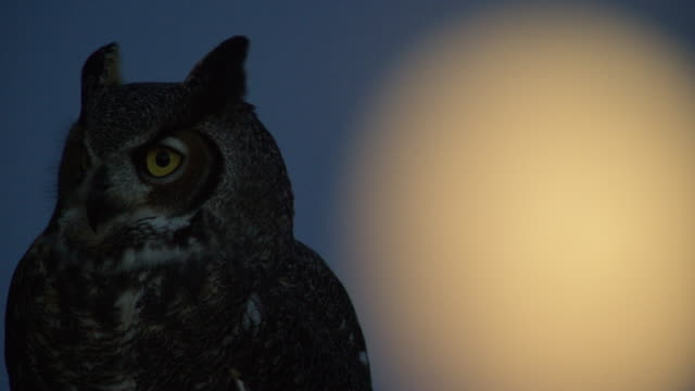close-up shot of an owl taking off with the moon in the background - animal stock videos & royalty-free footage