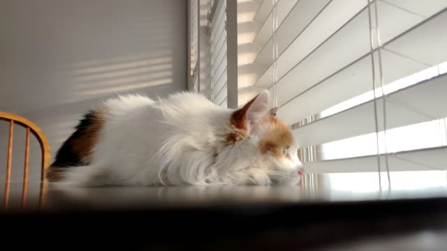 close-up shot of beautiful happy female calico indoor domestic fluffy house cat feline pet laying down on a wooden table looking outdoors through the blinds into the sunset during the winter - blinds stock videos & royalty-free footage
