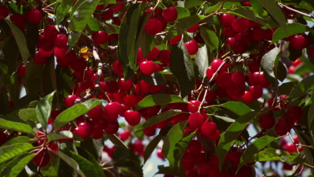 close-up shot of bunches of cherries. - ripe stock videos and b-roll footage
