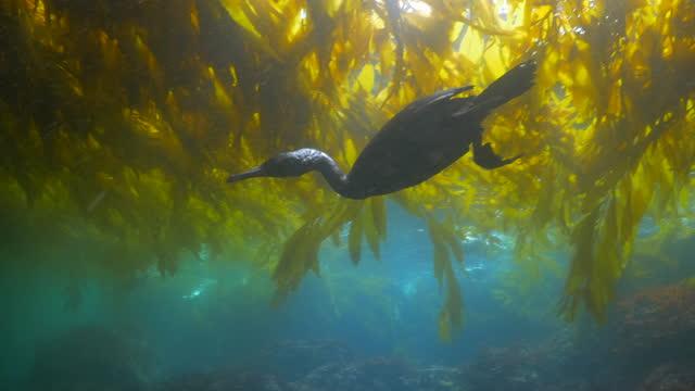 close-up shot of cormorants hunting below kelp plants undersea - monterey, california - seaweed stock videos & royalty-free footage