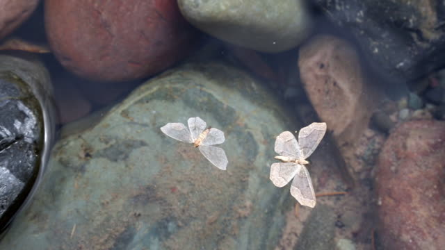 Closeup shot of cream colored moth swirling around in the water in a pattern as if flying over colorful rocks in mountain river.