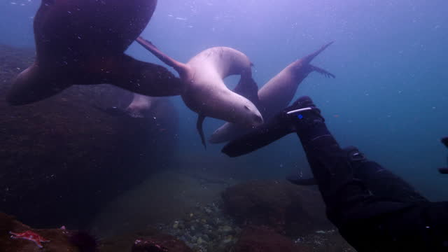 close-up shot of diver and seals swimming undersea - british columbia, canada - swimming stock videos & royalty-free footage