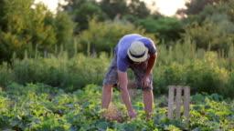 Close-up shot of farmer picking cucumber on organic farm