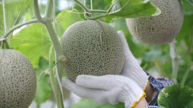 vídeos de stock e filmes b-roll de close-up shot of farmer quality checking of cantaloupe melon in organic smart farm - melão de casca de carvalho