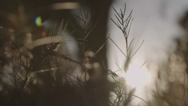 close-up shot of grass reeds. - back lit video stock e b–roll