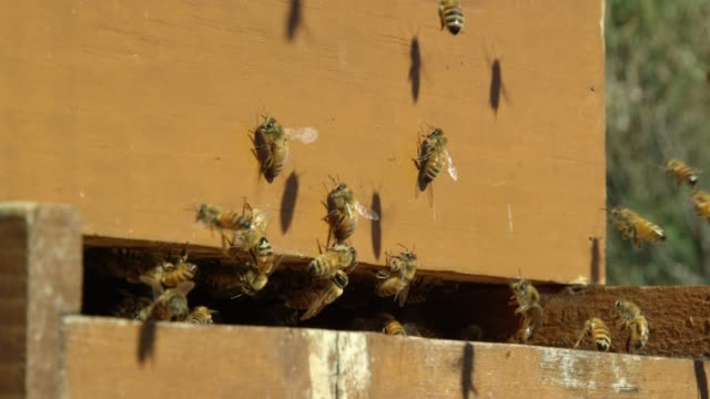 close-up shot of honeybees swarming around the entrance to a beehive outdoors on a sunny day - pollination stock videos & royalty-free footage