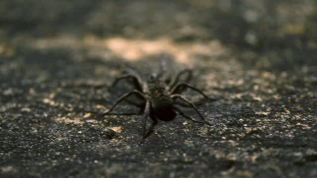 closeup shot of hunstman spider on rock - animal abdomen stock videos and b-roll footage