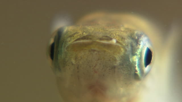 Closeup Shot Of Japanese Rice Fish Feeding