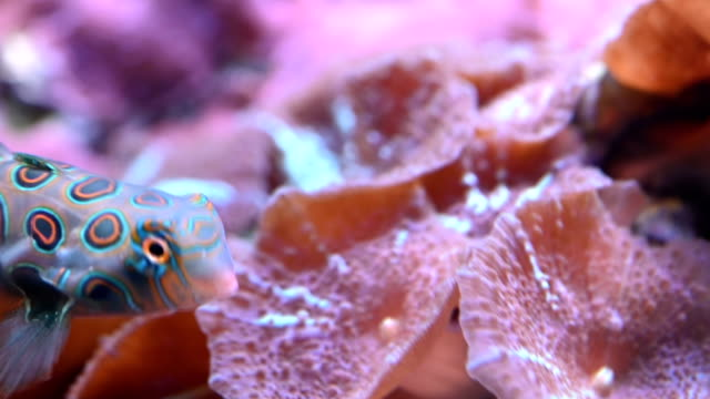Close-up shot of Mandarinfish undersea