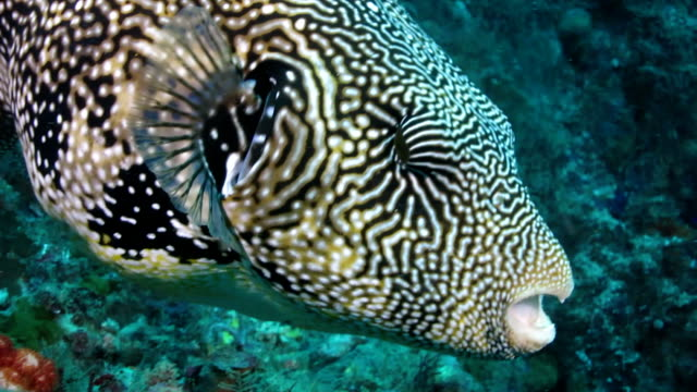 close-up shot of puffer fish in coral reef, indonesia - reef stock videos & royalty-free footage