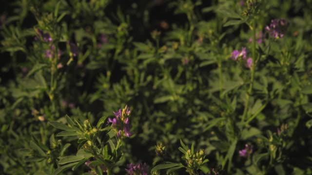 close-up shot of purple flower bushes - プロボ点の映像素材/bロール