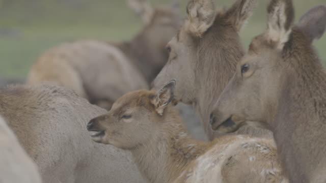 stockvideo's en b-roll-footage met close-up shot of red deer in the arctic national wildlife refuge - arctic national wildlife refuge