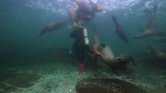 close-up shot of scuba diver amidst bob of seal swimming underwater - british columbia, canada - grey seal stock videos & royalty-free footage