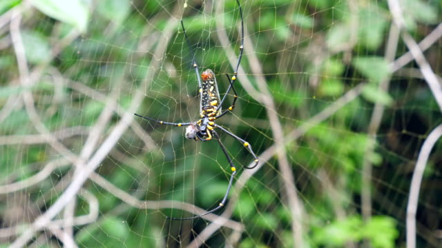 close-up shot of spider hunting victim in forest - silk stock videos & royalty-free footage
