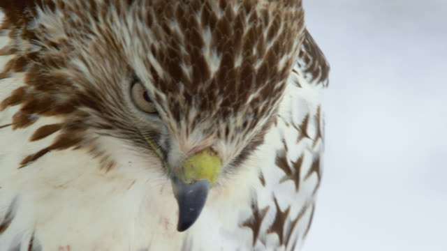 close-up shot of the face of a red-tailed hawk - animal mouth stock videos & royalty-free footage