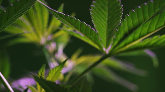 primo colpo delle foglie di una pianta di marijuana (cannabis) (canapa) - canapa video stock e b–roll