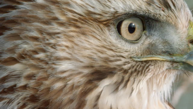 close-up shot of the profile of a red-tailed hawk - animal head stock videos & royalty-free footage