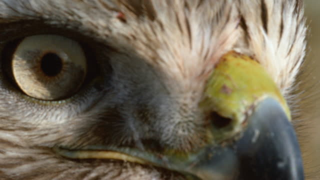 close-up shot of the profile of a red-tailed hawk - becco video stock e b–roll