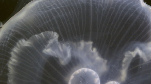 close-up shot of the umbrella margin membrane of a moon jellyfish - moon jellyfish stock videos & royalty-free footage
