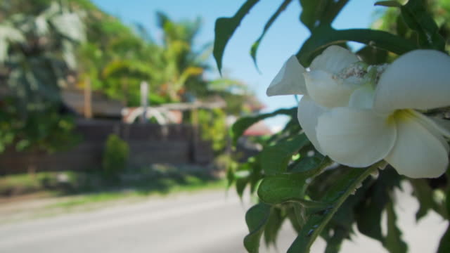 close-up shot of the white petals on a flower moving into a wide angle shot of a car driving past a house on a neighborhood - bora bora, french polynesia - french polynesia stock videos & royalty-free footage