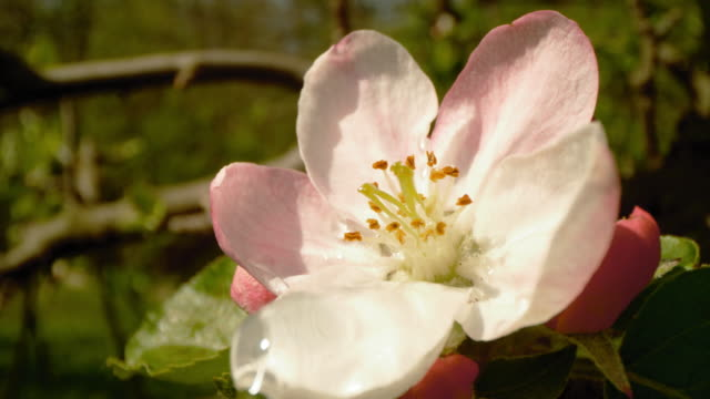 slo mo close-up shot of water drops falling on apple blossom - petal stock videos & royalty-free footage