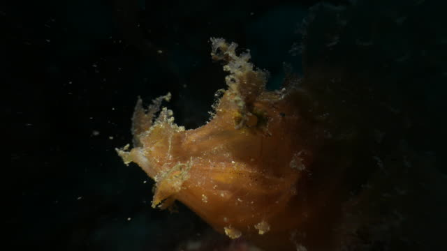 close-up shot of weedy scorpionfish in pacific ocean - weedy scorpionfish stock videos and b-roll footage