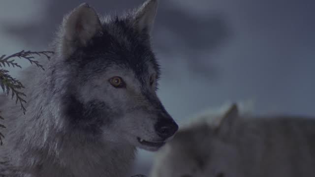 Close-up shot of wolves snarling and growling in snow.