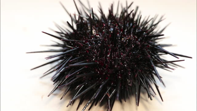 close-up shot taken on land of two species of sea urchins, shakotan peninsula, hokkaido, japan. - ricci di mare video stock e b–roll