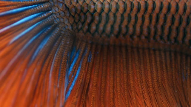 close-up : siamese fighting fish skins - tail fin stock videos & royalty-free footage