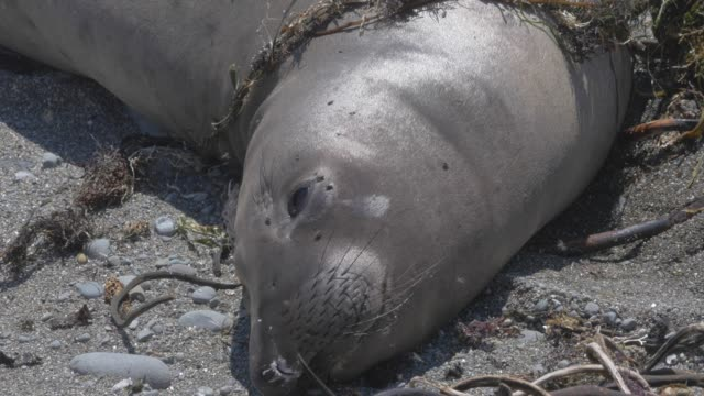 close-up: sleepy seal lying on rocky beach - pacific ocean stock videos & royalty-free footage