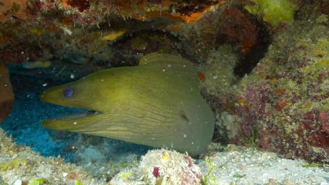 close-up slo mo: green moray eel against coral reef in ocean - belize city, belize - ウツボ点の映像素材/bロール