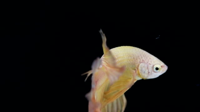 closeup slow motion fighting fish - siamese fighting fish stock videos and b-roll footage