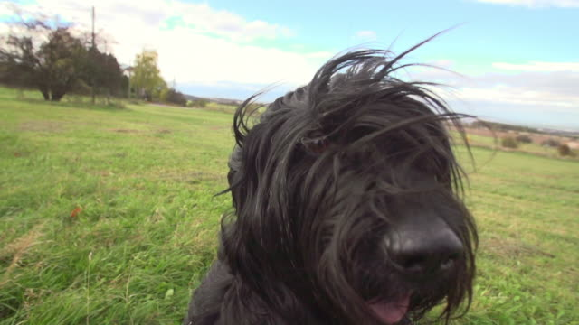 close-up slow motion shot of black hairy dog panting on grass against sky during windy day - erfurt, germany - animal nose stock videos & royalty-free footage
