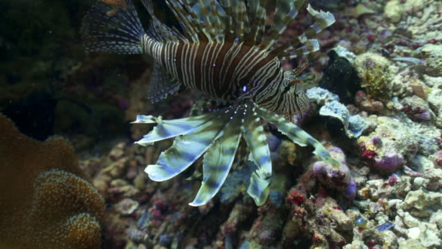 close-up slow motion shot of lionfish swimming by coral undersea - wakatobi regency, indonesia - lionfish stock videos & royalty-free footage