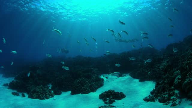vídeos de stock e filmes b-roll de close-up slow motion shot of school of fish swimming underwater - big island, hawaii - havai