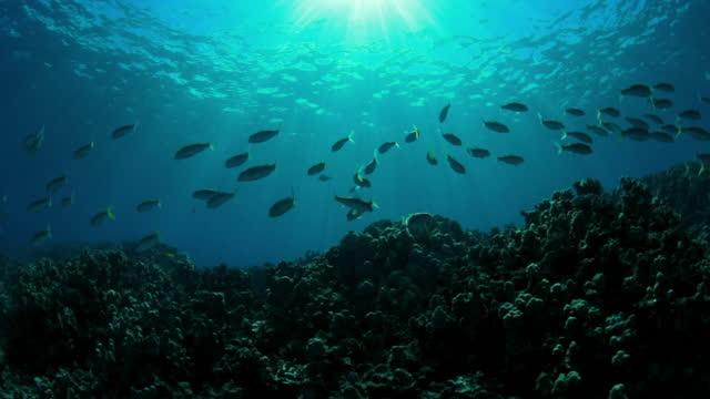 vídeos y material grabado en eventos de stock de close-up slow motion shot of sunlight falling on fish swimming undersea - big island, hawaii - un animal