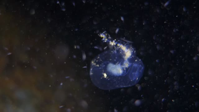 close-up: small jellyfish moving with the current of the ocean - translucent stock videos & royalty-free footage