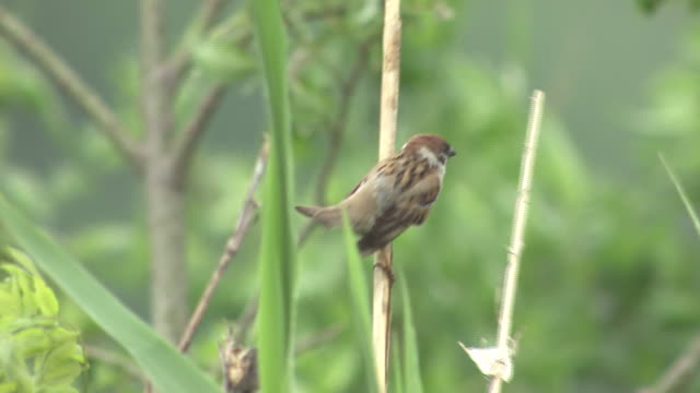 closeup; sparrow perching on reed - songbird stock videos & royalty-free footage
