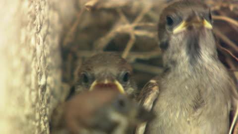 closeup; sparrow raising chicks - スズメ点の映像素材/bロール