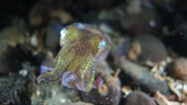 close-up: squid moving away from the camera on seafloor - norra stilla havet bildbanksvideor och videomaterial från bakom kulisserna