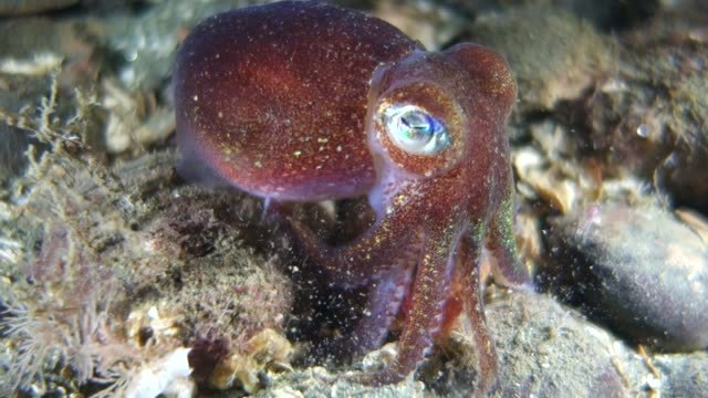 vídeos de stock e filmes b-roll de close-up: squid trying to get away - pacífico norte