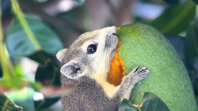closeup squirrel on the tree and eat a mango fruit - mango stock videos & royalty-free footage