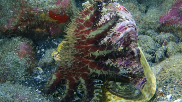 close-up: starfish being eaten by a triton sea snail - eaten stock videos & royalty-free footage