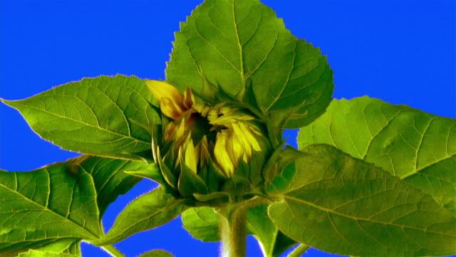 close-up sunflower blossoming on stem - 蕾点の映像素材/bロール
