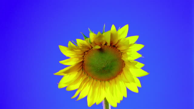 vídeos de stock, filmes e b-roll de close-up sunflower opening petals - girassol